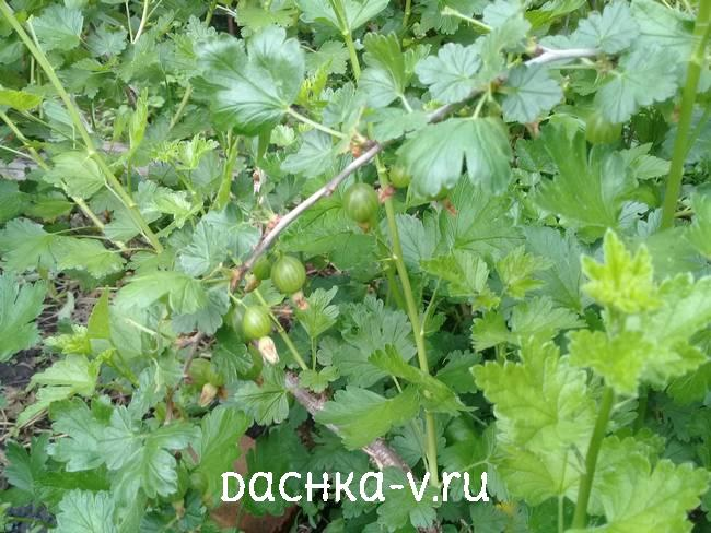 Крыжовник с зелеными ягодами