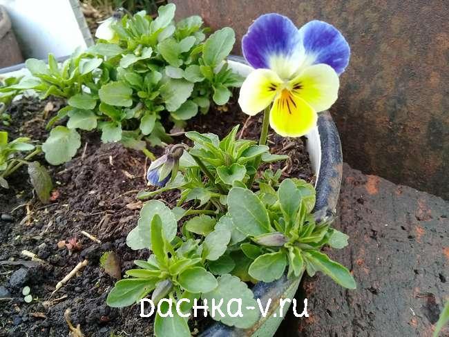 Виола на клумбе желто-голубая