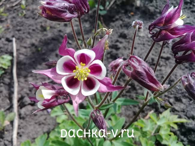 Аквилегия бордово белая фото цветов