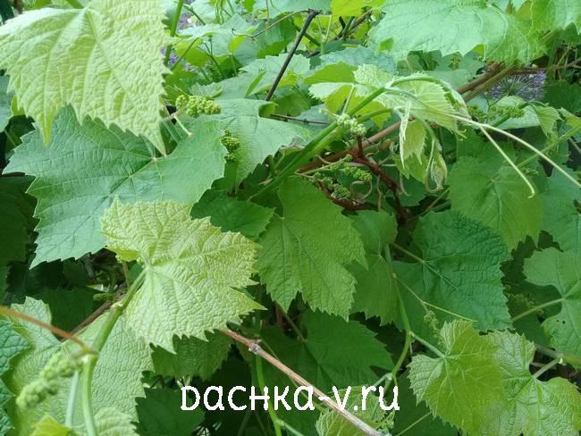 Виноград завязал кисти в мае