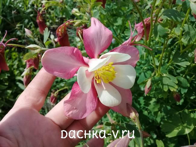 Аквилегия бело розовая крупная фото цветов