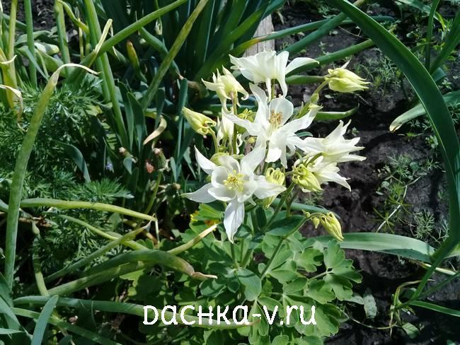 Аквилегия белая низкорослая фото цветов