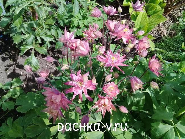 Аквилегия розовая махровая фото цветов