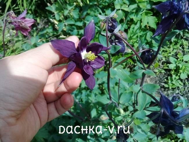 Аквилегия темно фиолетовая фото цветов