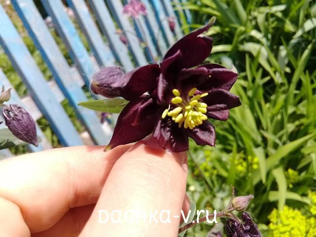 Аквилегия черная фото цветов