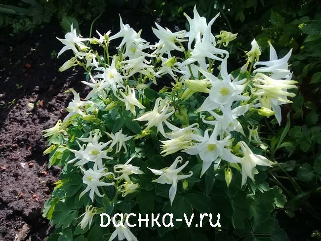 Аквилегия белая с острыми лепесткамифото цветов