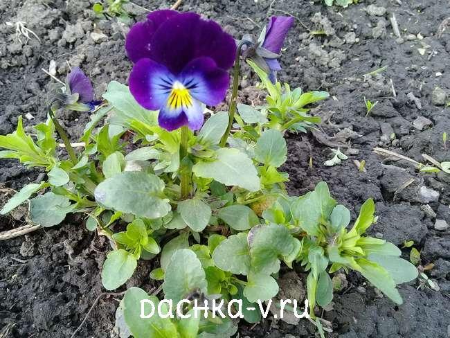 Виола на клумбе фиолетовая с голубой сердцевиной
