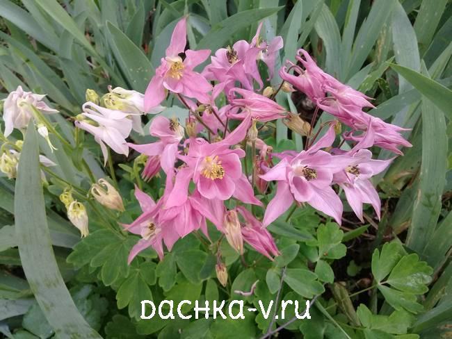Аквилегия розовая фото цветов