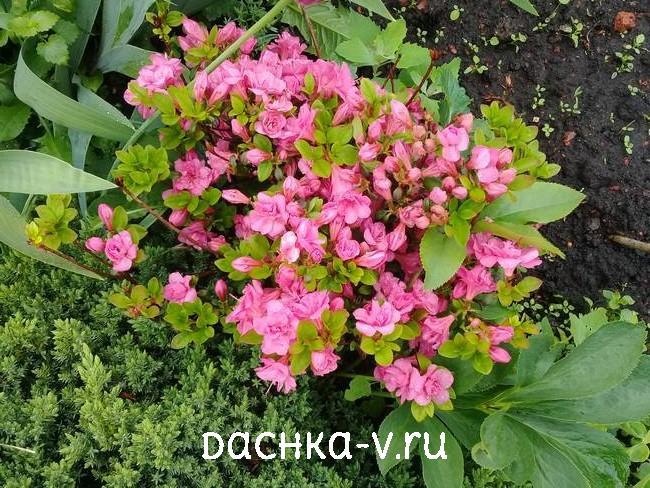 Азалия Гейша Пинк цветет розовым