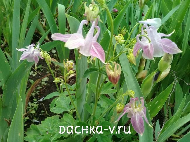 Аквилегия нежно фиолетоваяфото цветов