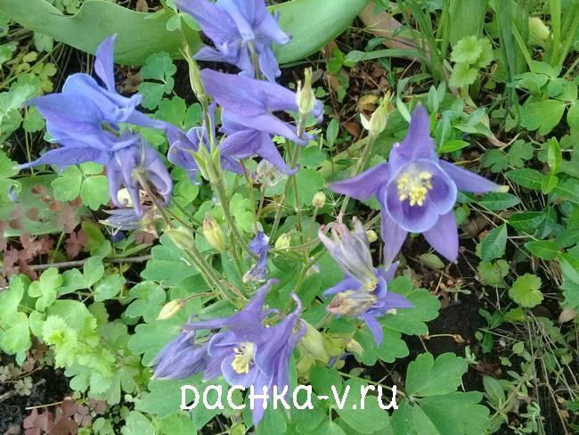 Аквилегия низкорослая голубаяфото цветов