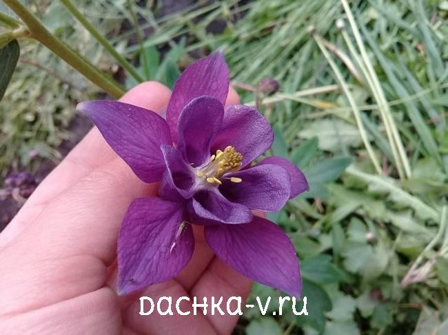 Аквилегия темно фиолетоваяфото цветов