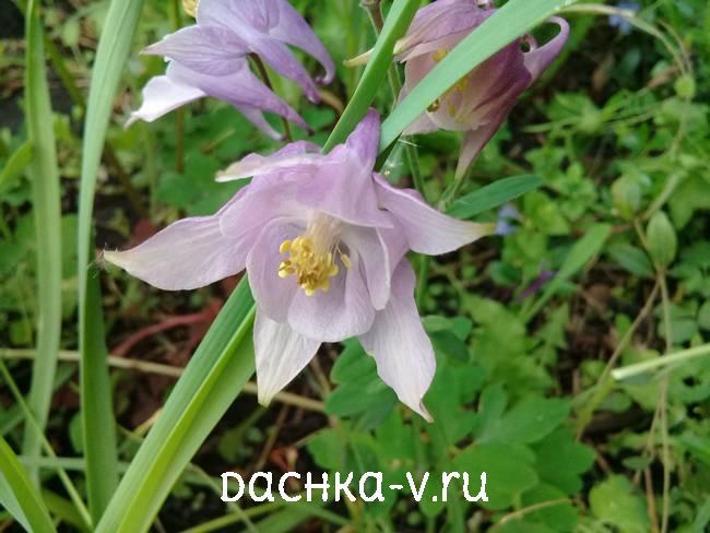 Аквилегия светло фиолетовая фото цветов
