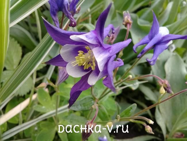 Аквилегия фиолетово белая с острыми краямифото цветов