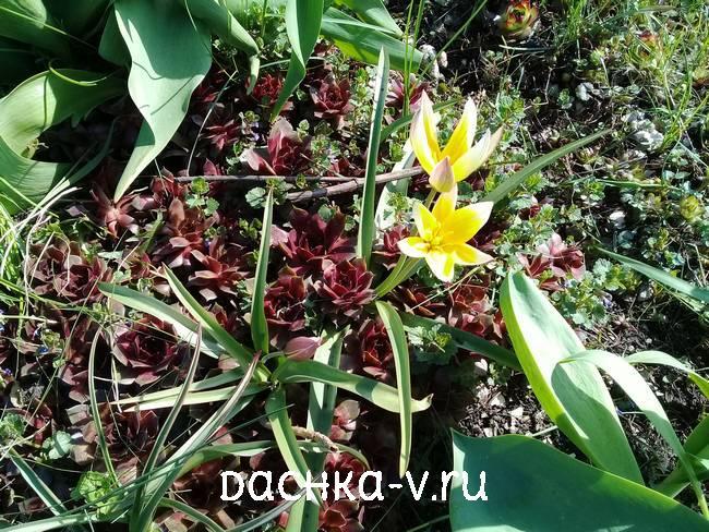 Низкорослые тюльпан желтый