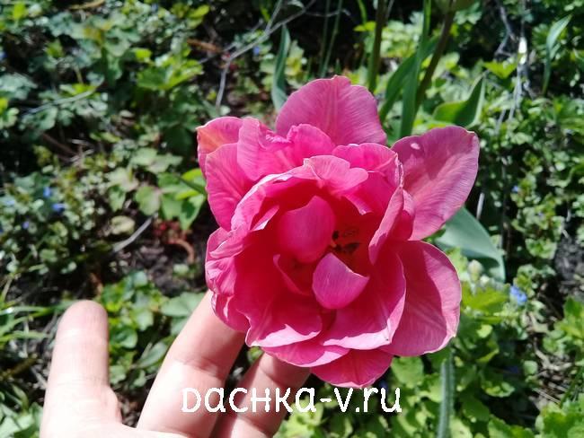2 Розовый махровый тюльпан