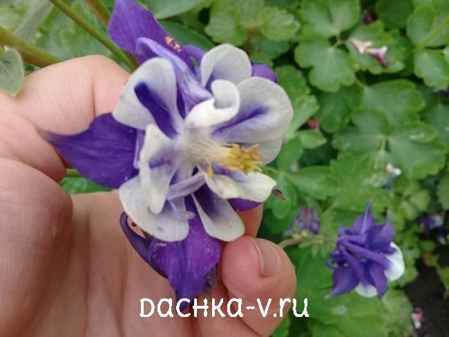 Аквилегия махровая бело фиолетоваяфото цветов