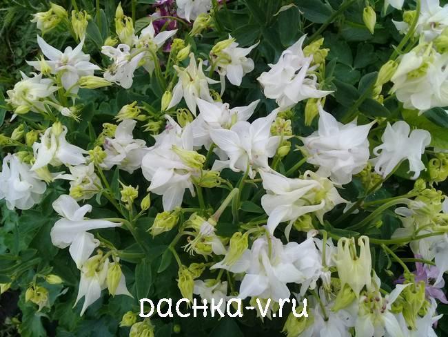 Аквилегия белая фото цветов