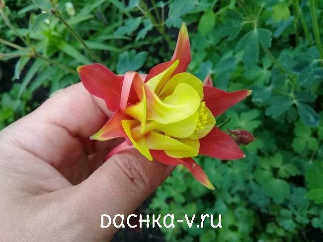 Аквилегия красно желтаяфото цветов