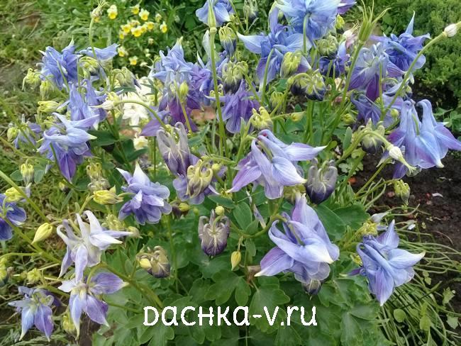 Аквилегия нежно голубаяфото цветов