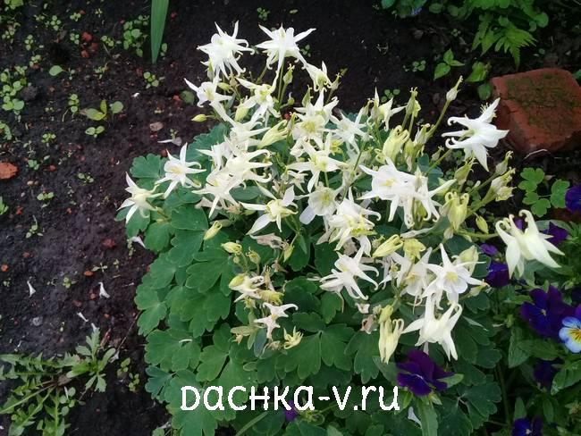 Аквилегия белый куст фото цветов