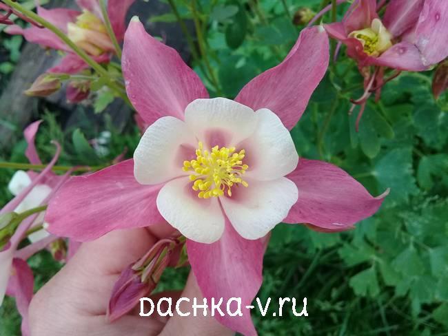 Аквилегия розовая с белой сердцевинойфото цветов