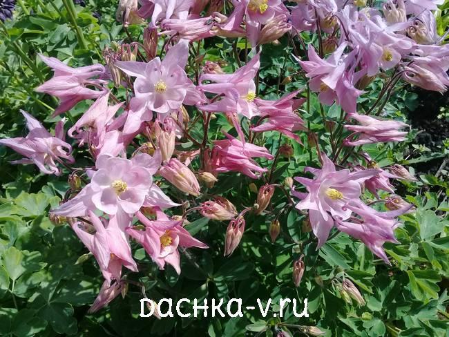 Аквилегия светло розовая фото цветов