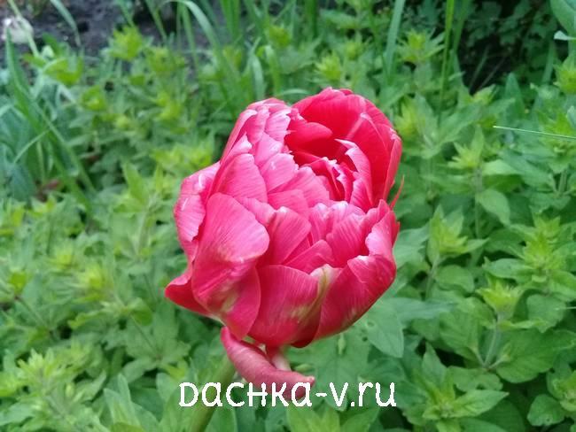 3 Красный махровый тюльпан