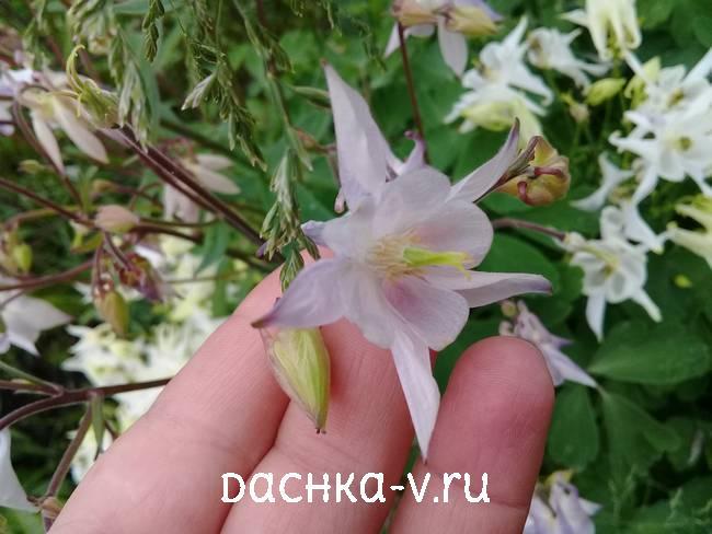 Аквилегия почти белая фото цветов