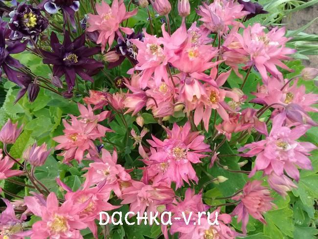 Аквилегия махровая розовая фото цветов