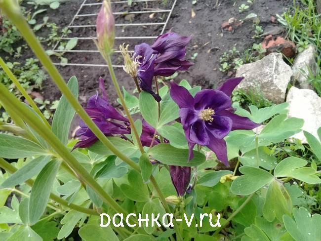 Аквилегия фиолетовая фото цветов
