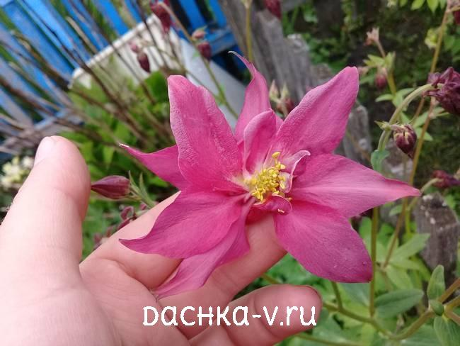 Аквилегия махровая розоваяфото цветов