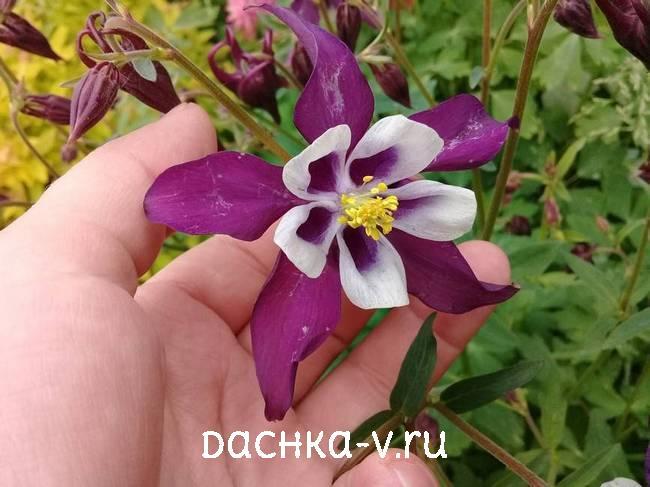 Аквилегия фиолетово белаяфото цветов