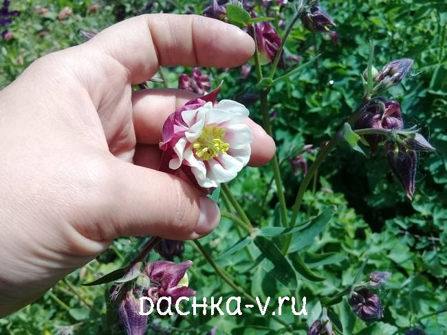 Аквилегия круглая фото цветов