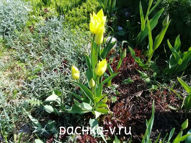 Лилицветные тюльпаны желтые