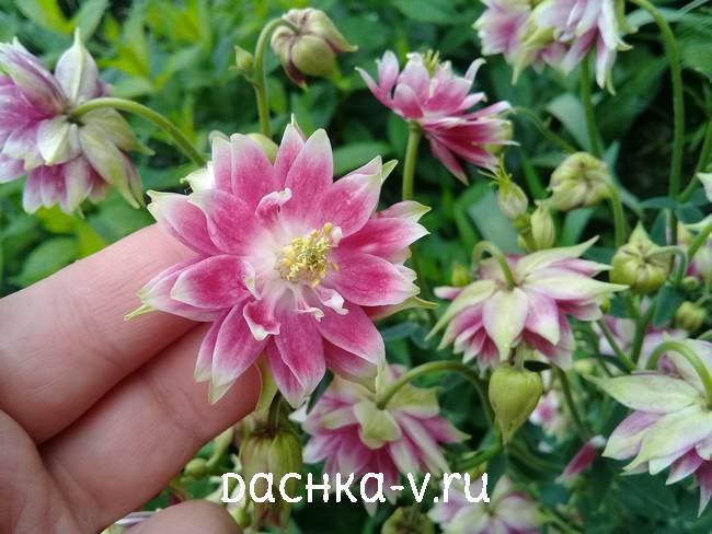 Аквилегия махровая фото цветов