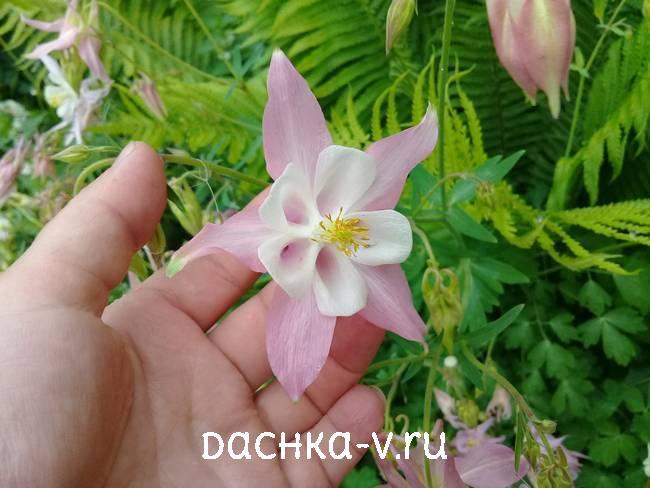 Аквилегия светло-розоваяфото цветов