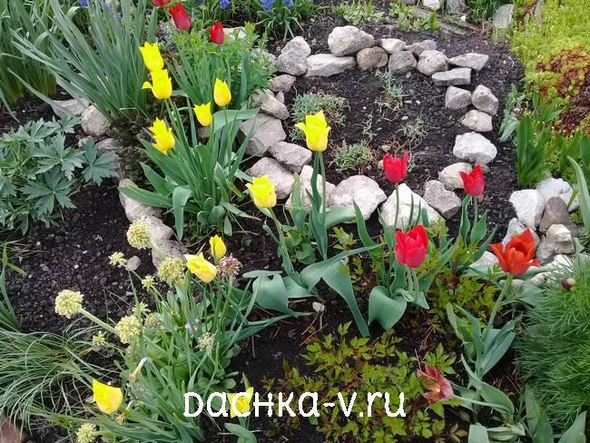 Лилицветные тюльпаны