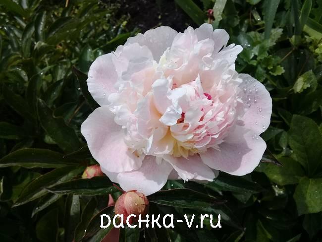 Светло-розовый пион цветет в июне