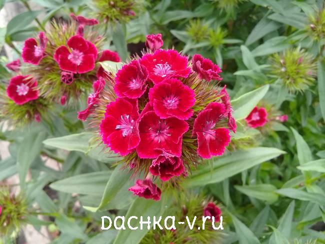 Турецкая гвоздика ярко красная цветет