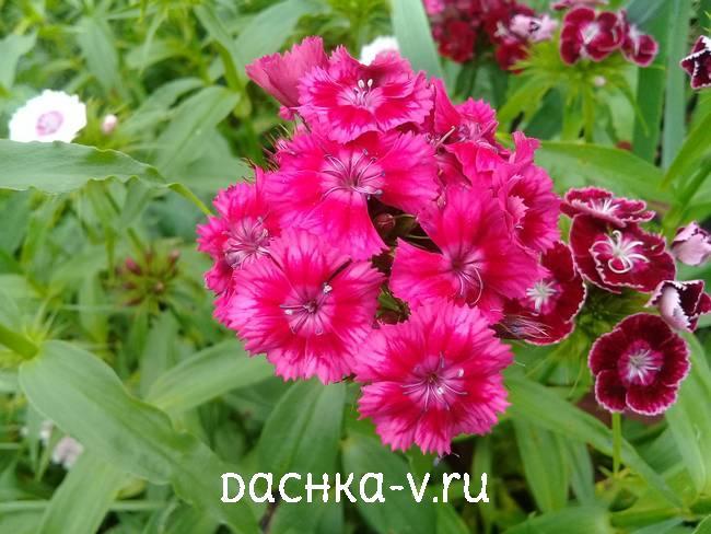Турецкая гвоздика ярко-розоваяцветет