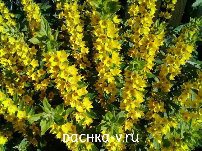 Вербейник цветет в конце июня