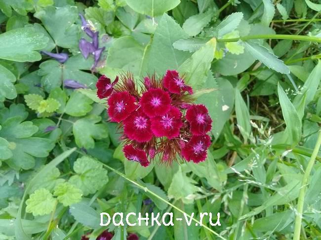 Турецкая гвоздика темно-бордоваяцветет