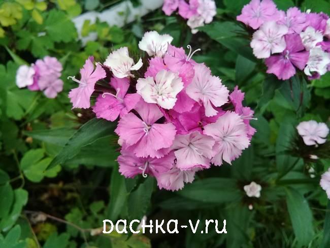 Турецкая гвоздика бело розоваяцветет