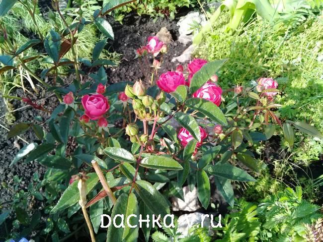 Роза цветет на клумбе
