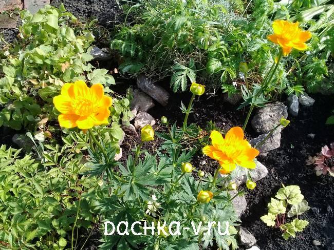 Купальница китайская цветет в июне