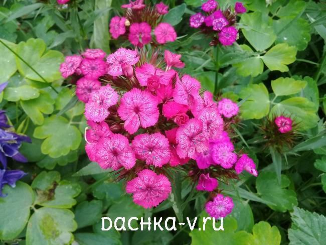 Турецкая гвоздика розовая однотоннаяцветет