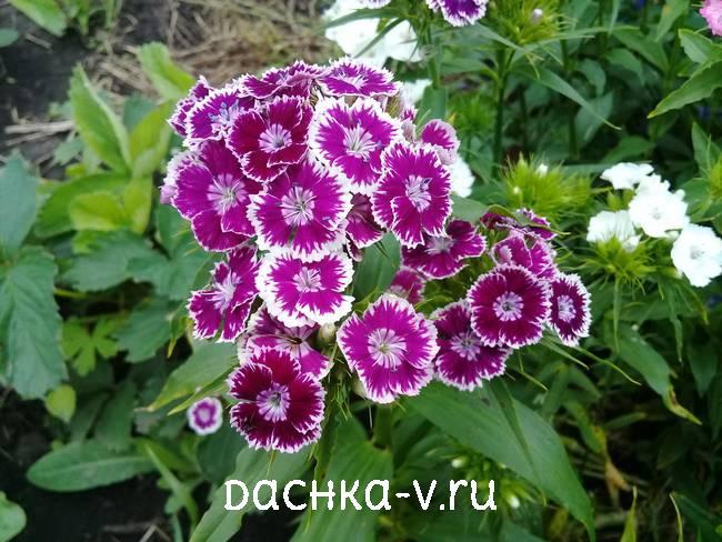 Турецкая гвоздика фиолетовая с белой окантовкойцветет