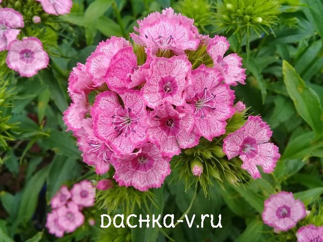 Турецкая гвоздика розовая с темной окантовкойцветет