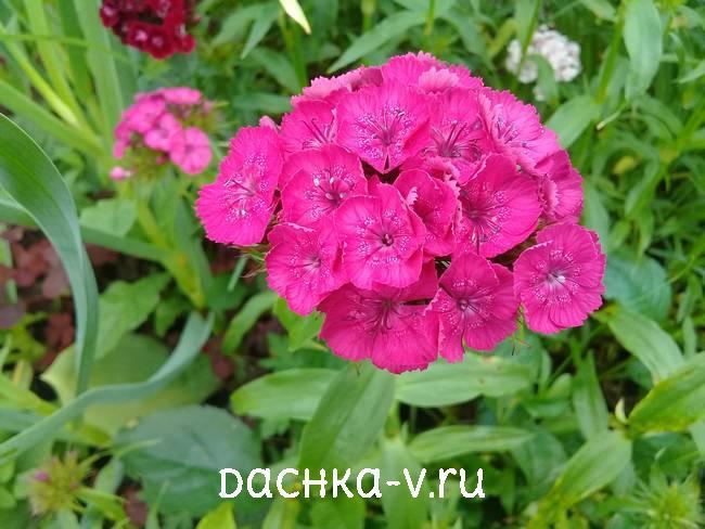 Турецкая гвоздика ярко розовая с крапинкойцветет